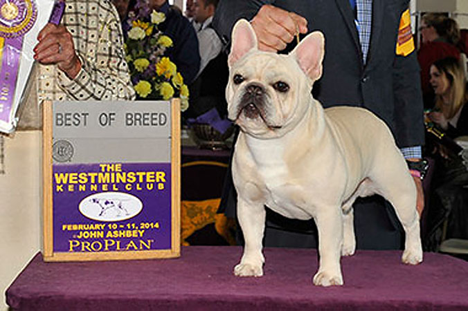 Westminster Dog Show French Bulldogs